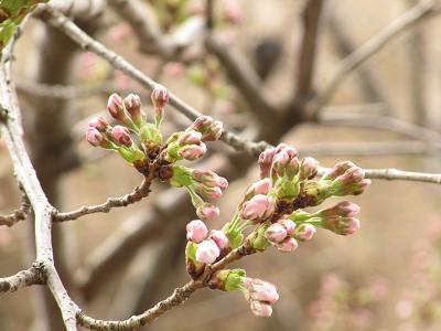 IMG_3桜