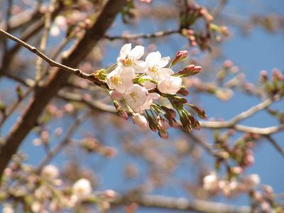 IMG_4桜