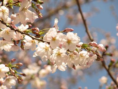 IMG_5桜