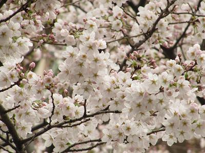 IMG_6桜
