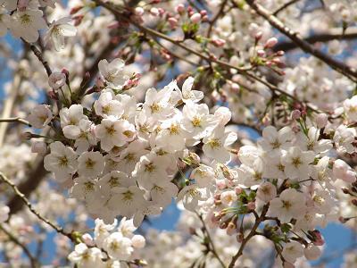 IMG_7桜-2
