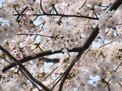 IMG_8桜