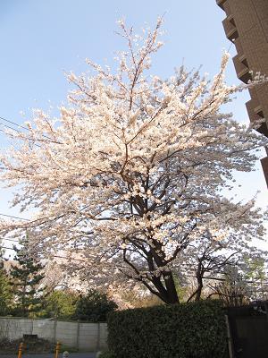 IMG_9桜
