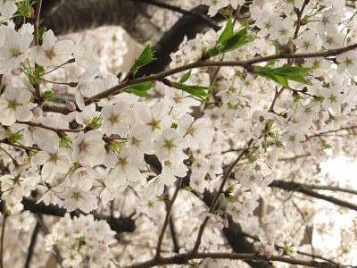 IMG_10桜