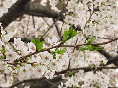 IMG_11桜