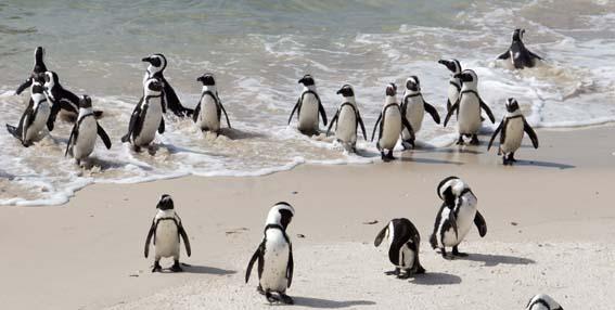 20130322 ケープ半島 ペンギン 20cm DSC06125