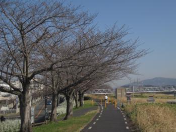 石川の桜並木