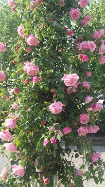 桃色バラの乱れ咲き