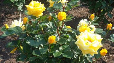 活力みなぎる黄色バラ