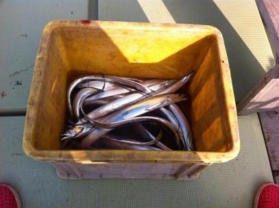 タチウオ釣りの釣果