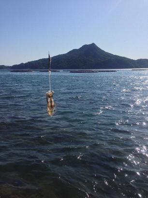 地磯で釣れたコイカ