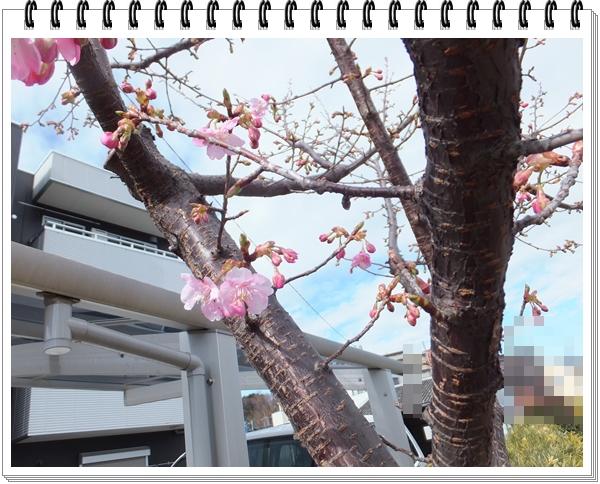 川津桜が開きだし