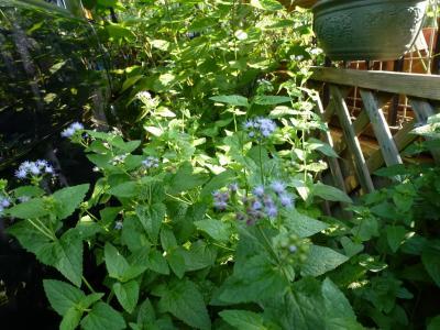 ユーパトリューム 紫花 2013 8・16