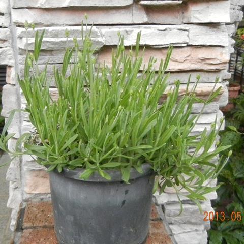 LavenderEN130506.jpg