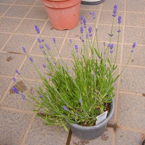 LavenderEN130519.jpg
