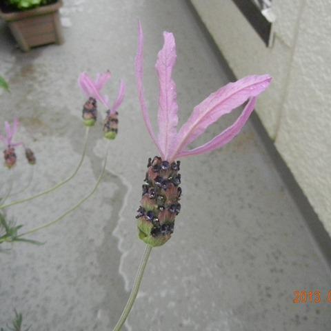 LavenderFR130506.jpg