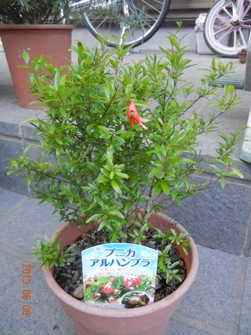 himezakuro130608.jpg