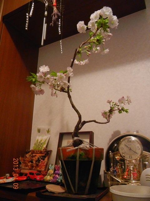 sakura_asahiyama130409.jpg