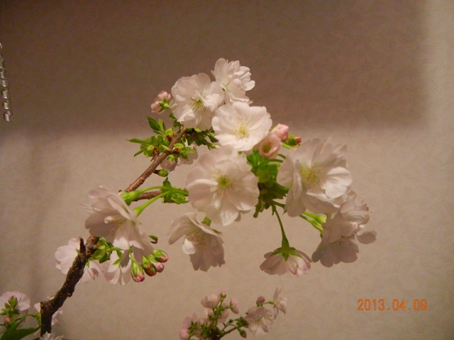 sakura_asahiyama130409a.jpg