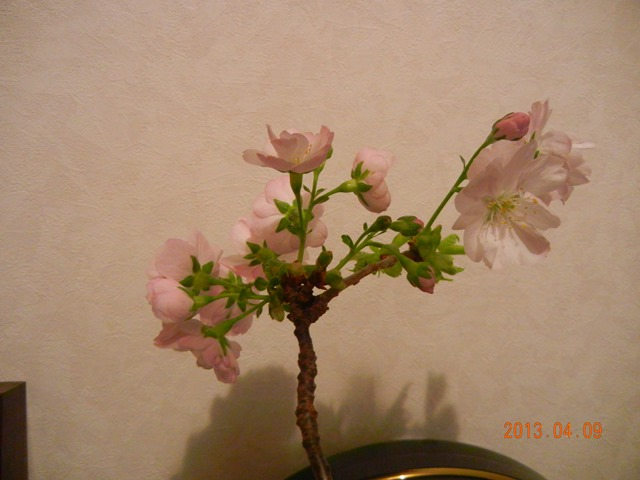 sakura_asahiyama130409b.jpg