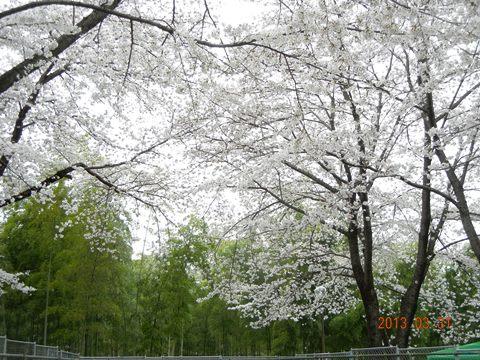 sakurakamiya130331.jpg