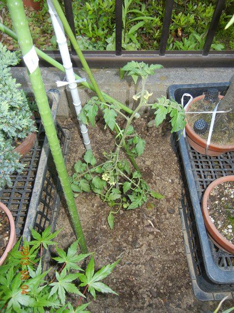 tomatoflutica130504.jpg