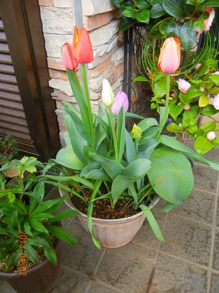 tulip130402.jpg