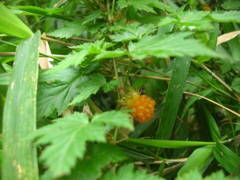 モミジイチゴ-2