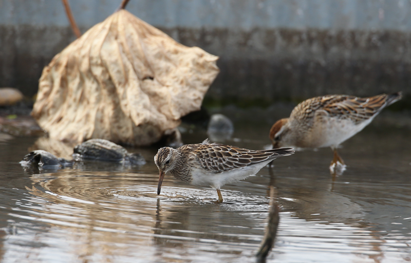 2014-アメリカウズラシギ&ウズラシギ幼鳥AR0J8326