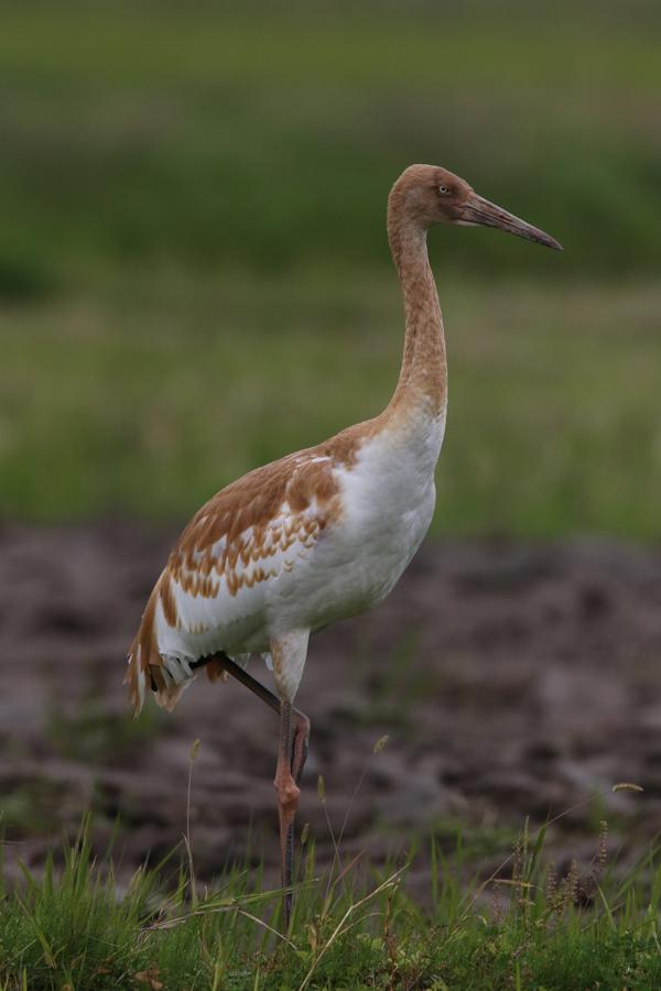 2014-11-ソデグロヅル幼鳥475A3406