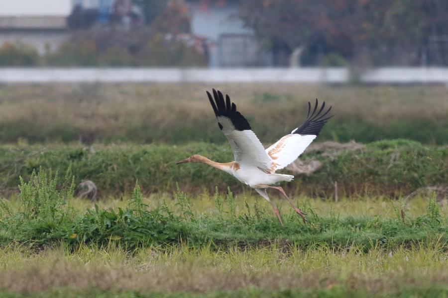 2014-11-ソデグロヅル幼鳥475A3224