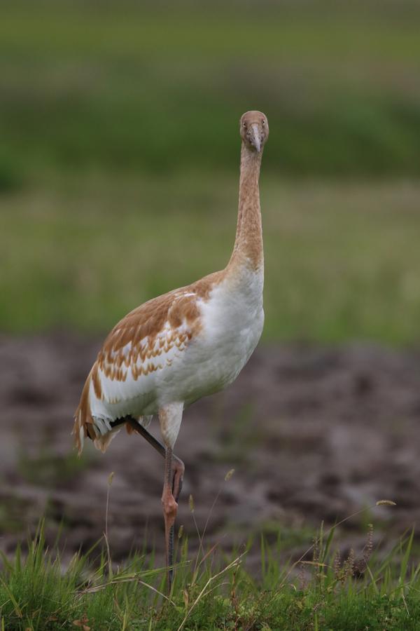 2014-11-ソデグロヅル幼鳥475A3418