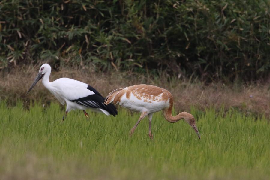 2014-11-ソデグロヅル幼鳥475A3882