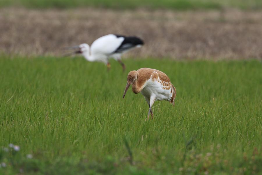 2014-11-ソデグロヅル幼鳥475A4123