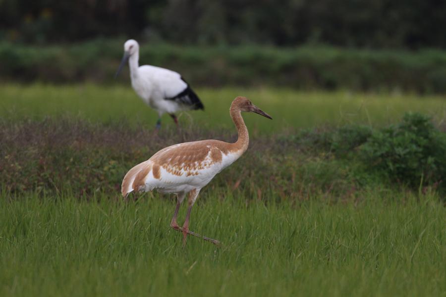 2014-11-ソデグロヅル幼鳥475A4161