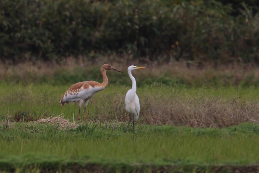 2014-11-ソデグロヅル幼鳥475A4326