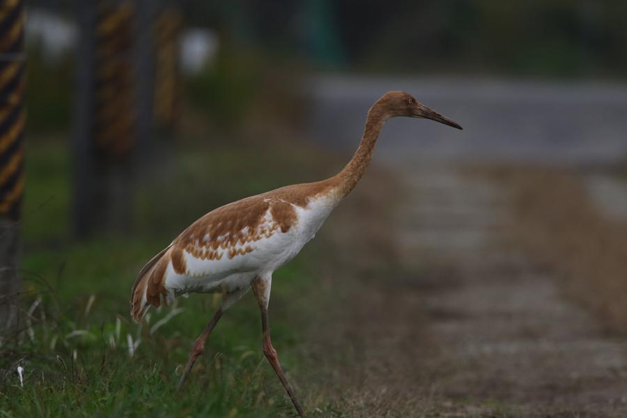 2014-11-ソデグロヅル幼鳥475A4393