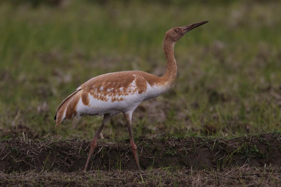 2014-11-ソデグロヅル幼鳥475A4395