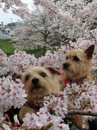 桜の中の2匹