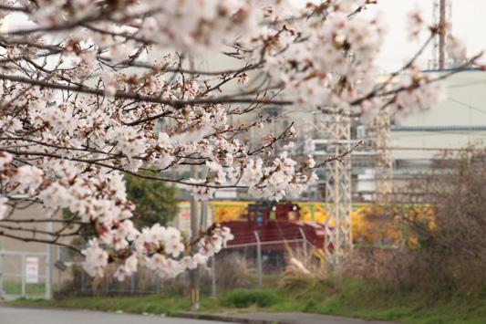 130323桜&黄 (32)のコピー
