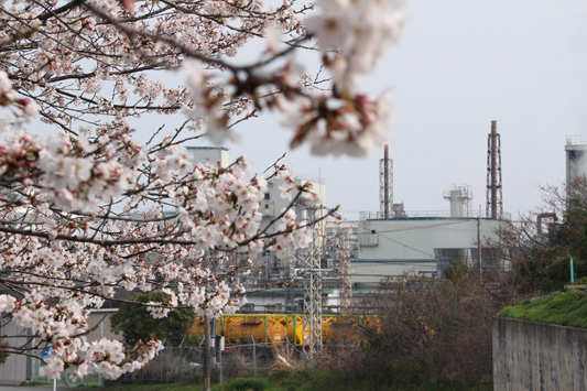 130323桜&黄 (17)のコピー