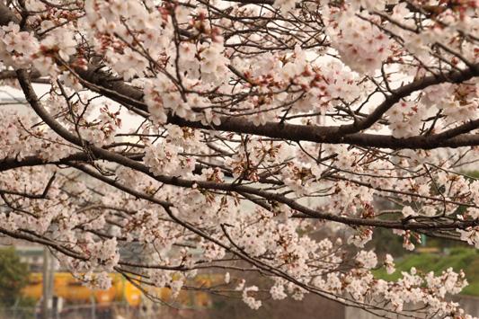130323桜&黄 (11)のコピー
