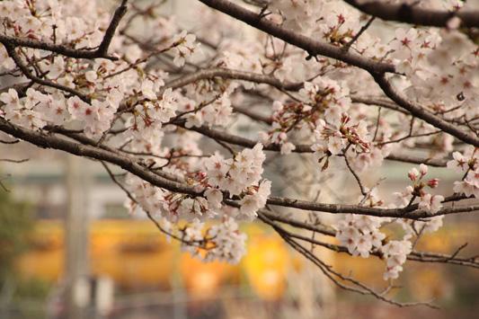 130323桜&黄 (10)のコピー