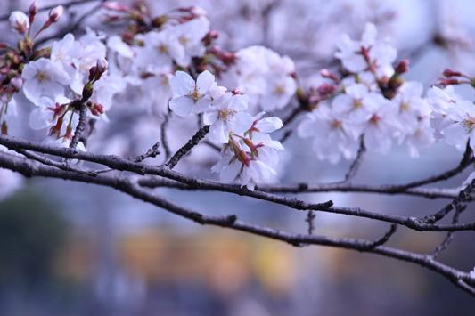 130323桜&黄 (8)のコピー
