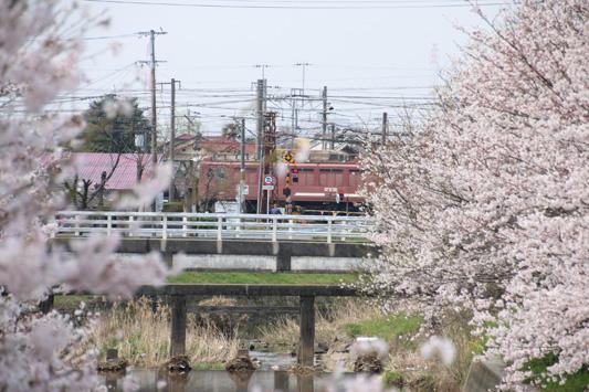 130324桜鉄 (21)のコピー