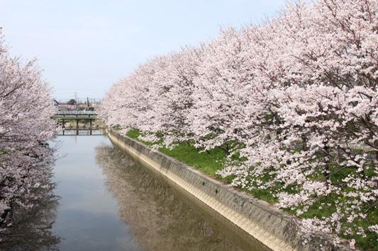 130324桜鉄 (15)のコピー