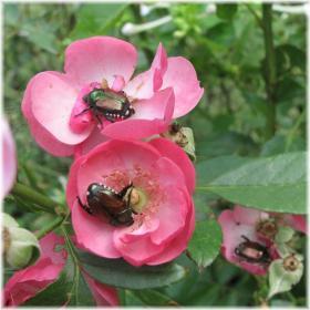 130929G 002赤い花ムグリ