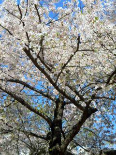0415桜