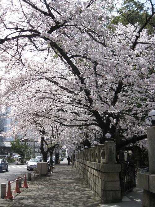 2013那古野神社の桜1