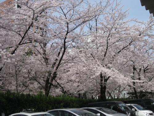 2013那古野神社の桜3